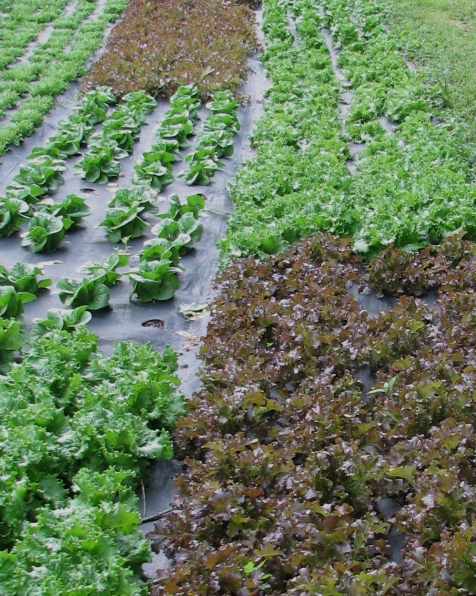 lettuce_landscape_fabric