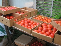 May_tomato_harvest_Thatchmore_Farm